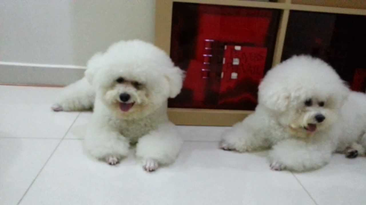 dogs - bichon in teddy bear cut - youtube