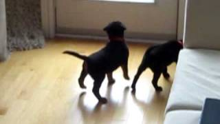 Lab/collie Mix Puppies Playing