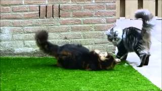 Norwegian forest cat and a Maine Coon