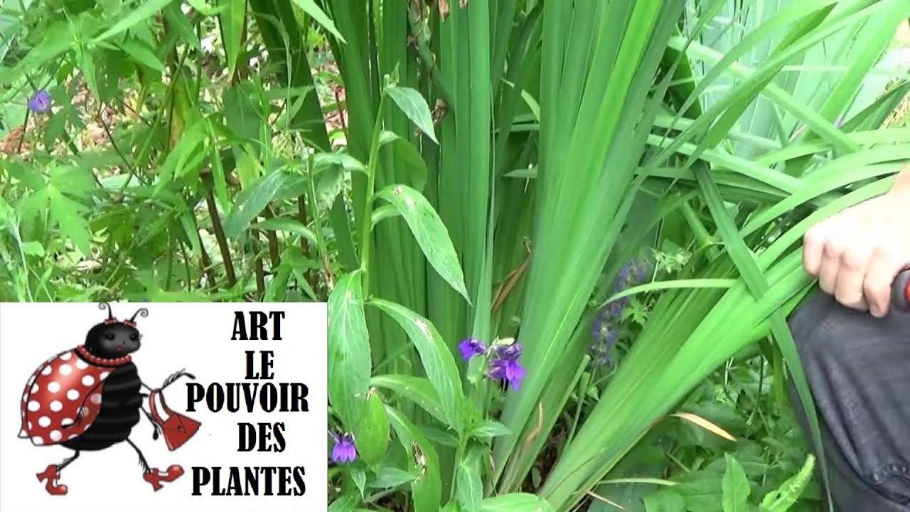 chaine de jardinage lobelia speciosa comment faire lataille et entretien plantes vivaces. Black Bedroom Furniture Sets. Home Design Ideas