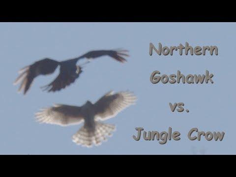 Northern Goshawk X Jungle Crow オオタカとカラス 中部の山 10月中旬 野鳥FHD 空屋根FILMS#1113