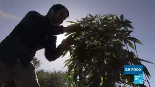 """Cannabis en California: el """"oro verde"""" de difícil acceso para los pequeños productores"""