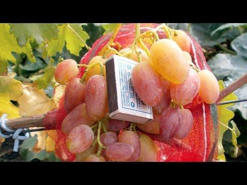 Виноград. Сорта винограда.  Юлиан.