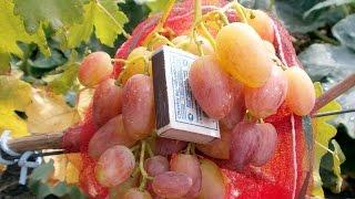 Виноград. Сорта винограда.  Юлиан.(Виноград. Сорта винограда. Юлиан. Виноград Юлиан – был получен в результате скрещивания сортов Кеша и..., 2015-08-13T21:25:30.000Z)