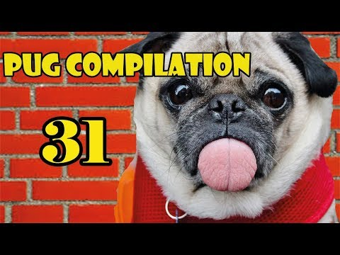 Pug Compilation 31 - Funny Dogs but only Pug Videos | Instapugs