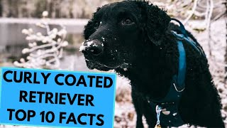 Curly Coated Retriever  TOP 10 Interesting Facts
