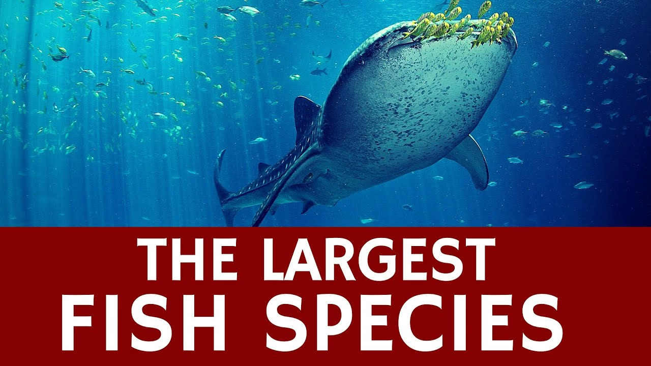 World S Largest Species Of Fish Whale Shark Animal