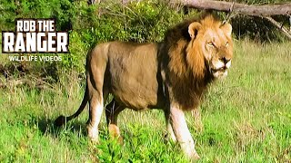 Two Lions Watch A Hippo Play With A Stick! | Archive Mapogo Lion footage