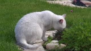 Которелакс - Сад Дзен (Триша)) // Питомник шотландских кошек Безухов (Bezuhov)