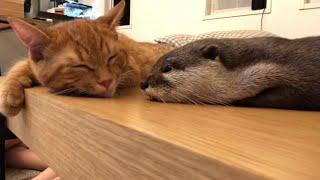 カワウソさくら ちょっとずつ猫に近寄りながら眠ろうとするカワウソ otter sleeping while approaching a cat little by little