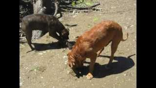 Dogue De Bordeaux And Bull Mastiff Attack Baby On Beach..blood Everywhere
