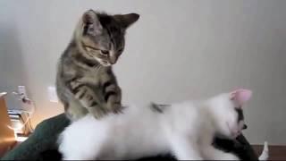 Приколы с  котами.  Кошки и котята - Смешные и забавные домашние животные под музыку Моцарта