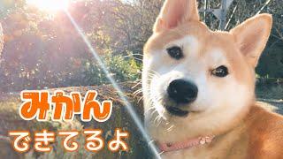 好物のみかんが実ってる事に気付いた柴犬 My dog loves orange