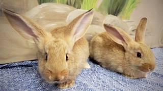 Flemish Giant Rescue Rabbits: Pancake and Waffle!