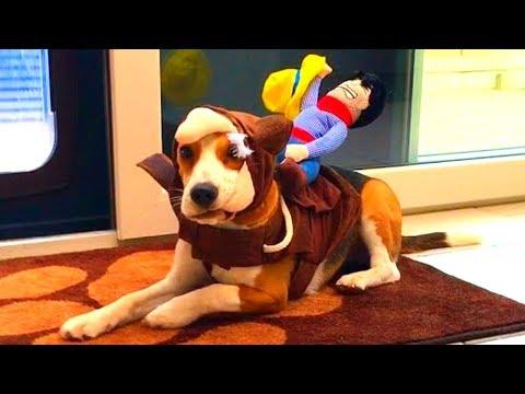 Beagle Puppy Vs Cowboy Dog Riding Costume : Funny Beagle Marie