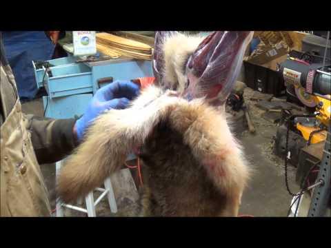 Professional Fur Handling,- Coyote  Part 1 Skinning