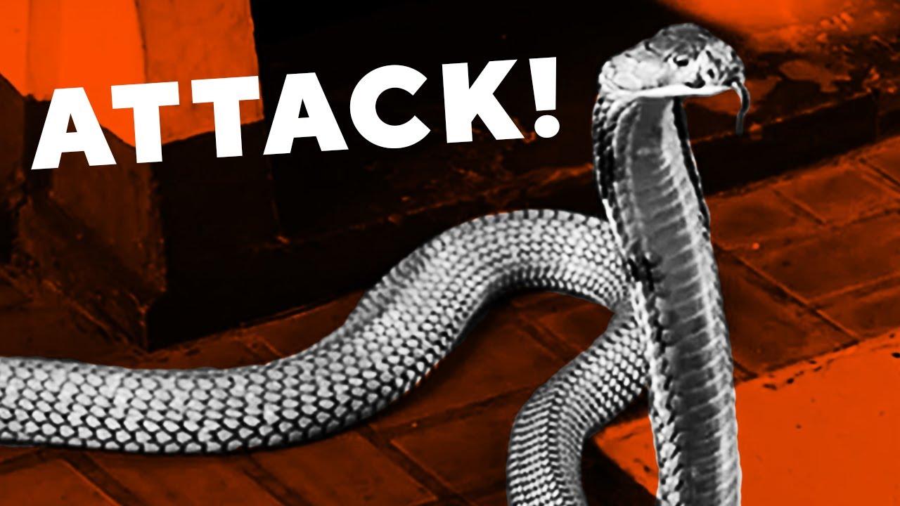 king cobra attack elephant