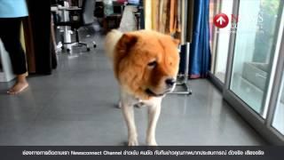 สุนัขหัวสิงโต : NewsConnect Channel