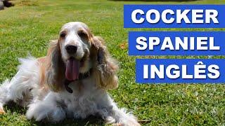 Cocker Spaniel Inglês - Quatro Patas