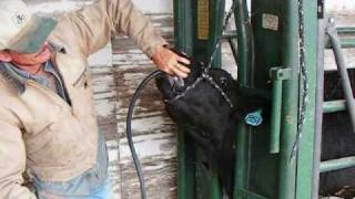 Tubing a Bloated Steer