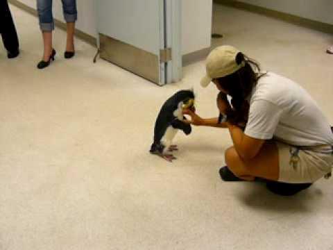 Hendrix the rockhopper penguin