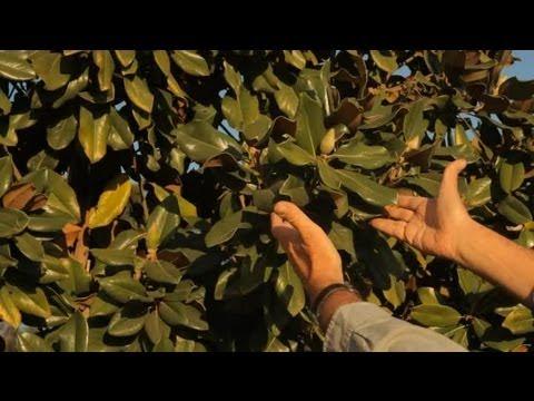 How To Garden Magnolia Trees Garden Savvy Youtube