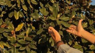 How to Garden Magnolia Trees : Garden Savvy