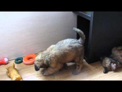 Нашим щенкам 1.5 месяца! часть3