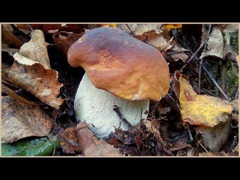 Где растут БЕЛЫЕ ГРИБЫ - возле Мухоморов! | Собираем грибы в Сентябре | Советы грибникам