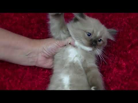 Cookie's kittens for sale - A Ragdoll To Love-  October 3, 2017
