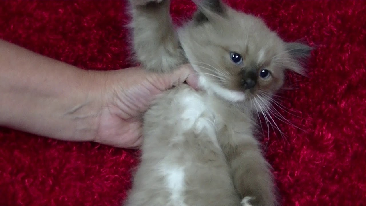 Cookie s kittens for sale A Ragdoll To Love October 3 2017