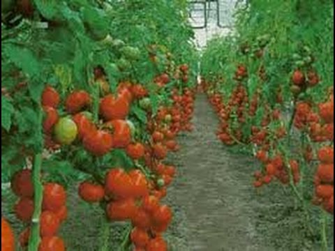 Cultivo de Tomate Chonto en Invernadero - TvAgro por Juan Gonzalo Angel