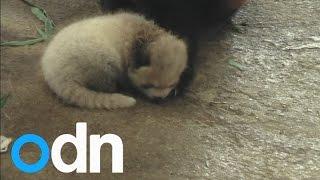 CUTE: Red panda baby born at Japanese zoo