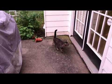 Siberian Cat outdoor