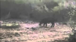 Wild Hog Hunts In Texas