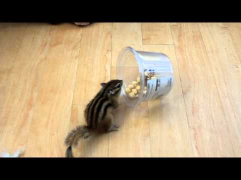Buddy the Siberian Chipmunk