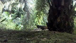 Ayam hutan Pikat Betina 5