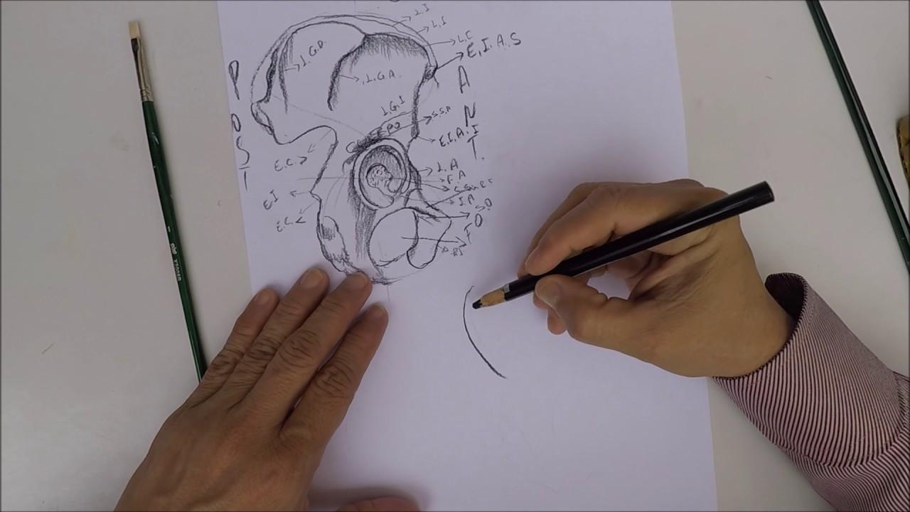 Dibujo de hueso coxal - YouTube