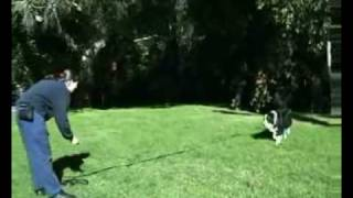 Hanrob Dog Training Sydney - Pet Dog Obedience Training For Long Lead Recall.