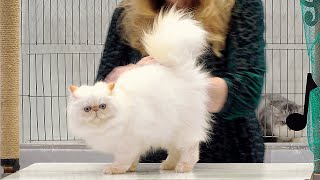 CFA International Show 2019  Himalayan Persian Kitten Class Judging