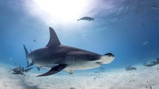Video Diving with Great Hammerhead Sharks in Bahamas download MP3, 3GP, MP4, WEBM, AVI, FLV Juni 2018