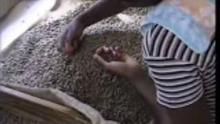 Jamaican Blue Mountain Coffee Production