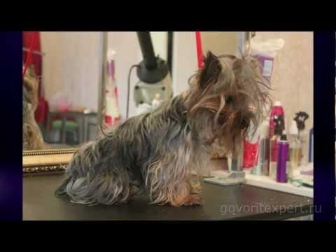 Стрижка собак: дома или в салоне? Говорит ЭКСПЕРТ