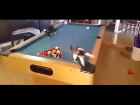Cats playing on pool table very expensive cat toy - Most expensive pool table ...