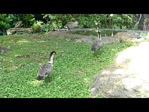 Nene: Hawaii State Bird