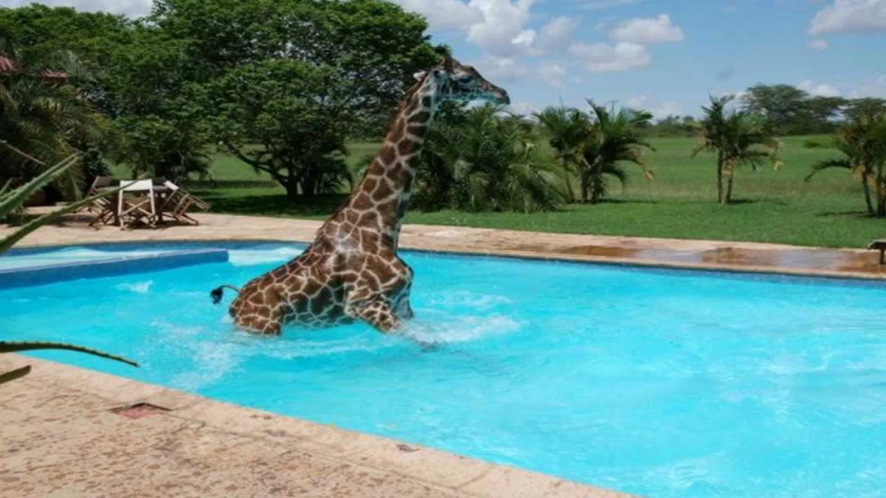 There 39 S A Giraffe In My Swimming Pool Youtube