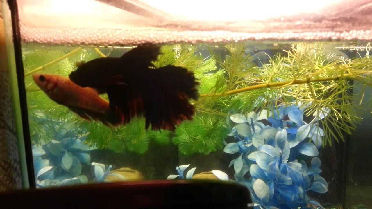 рыбы петушки фото