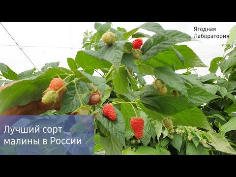 Самый лучший ремонтантный сорт малины в России.Новинка 2019г. Малина от которой вы будете в шоке 👍