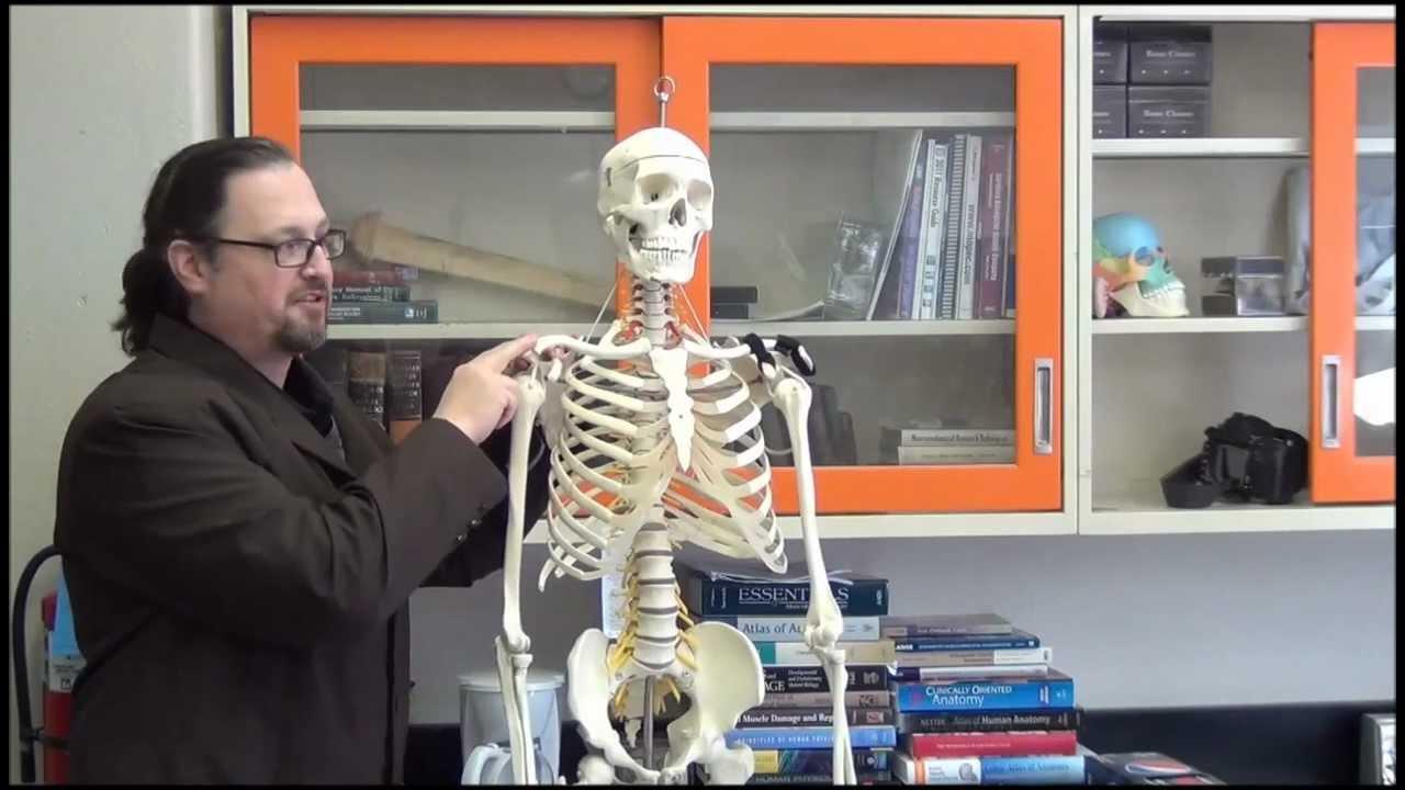 Medical Gross Anatomy Shoulder Separation Youtube