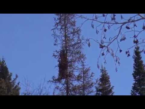 Ведьминым помелом болезненный выгон веток кучкой на дереве вихорево гнездо омелу